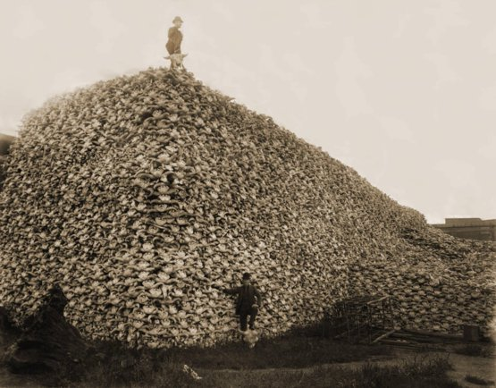 A pile of American bison skulls waiting to be ground for fertilizer, mid-1870s.