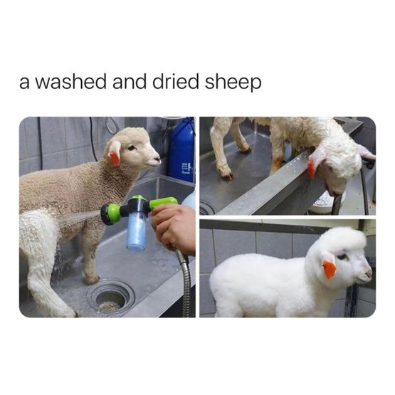 Just a washed and dried sheep for your timeline #WednesdayWisdom   (: )