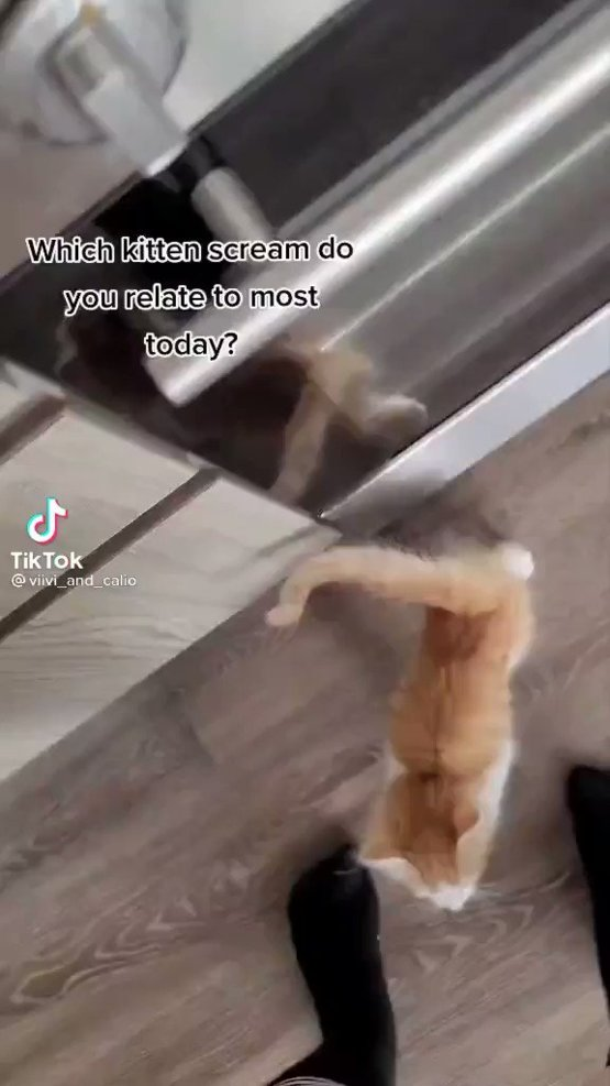 """Which kitten scream do you relate to today I'm """"eternal screaming."""""""